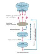 Связь между центральной нервной системой и эндокринной системой