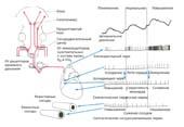 Функции продолговатого мозга. Связи, идущие от различных внутренних органов к стволу мозга и ретикулярной формации